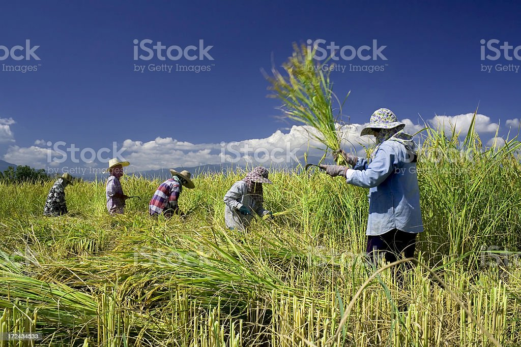 Traditional rice harvesting 5 Traditional rice harvesting of Thailand farmer. Working in rice field against strong sunlight Agriculture Stock Photo