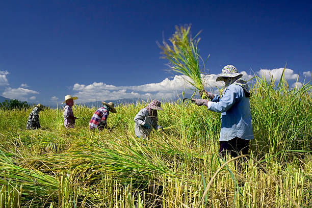 Traditional rice harvesting 5 stock photo