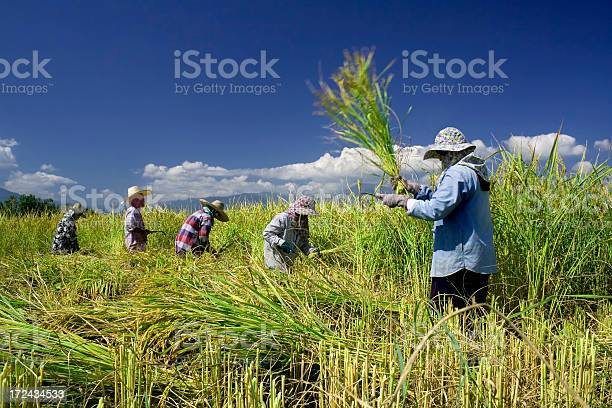 Traditional Rice Harvesting 5 Stock Photo - Download Image Now