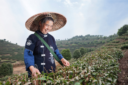 Traditional tea picker working in tea terraces, Yang Shuo, China