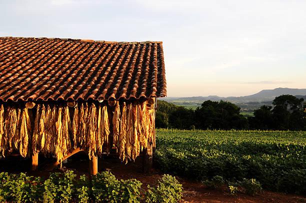 Tradicional tabaco secagem - foto de acervo