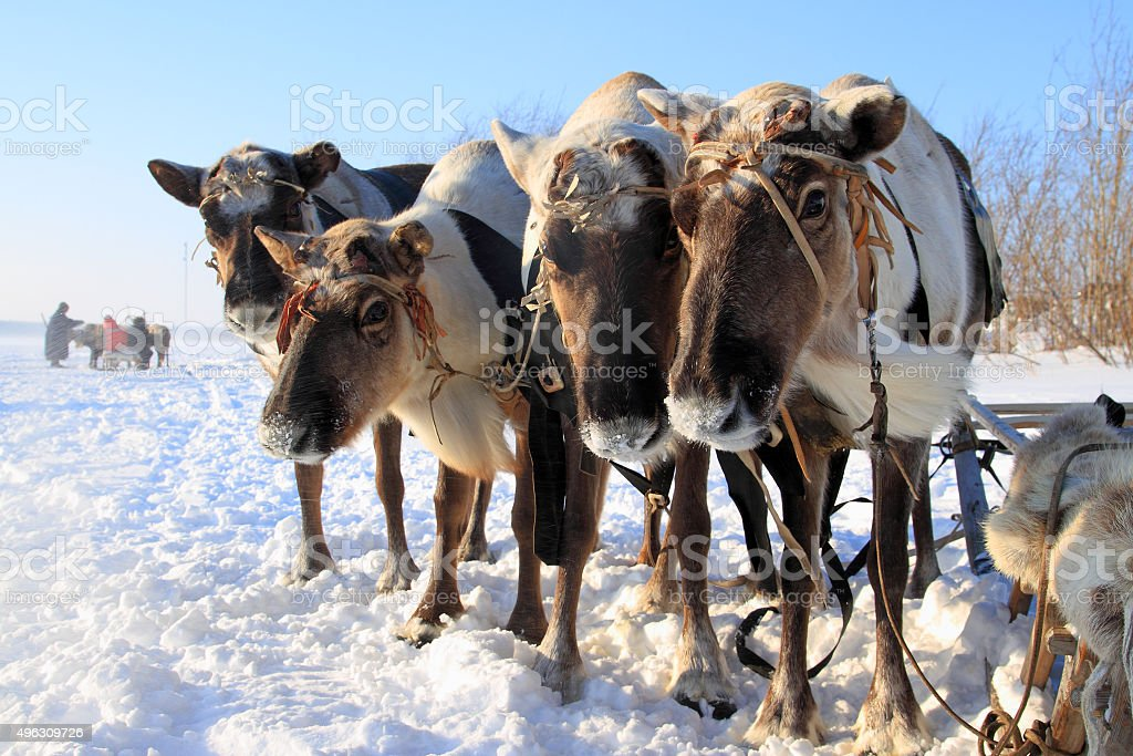 Traditional transport  aboriginals of Siberia stock photo