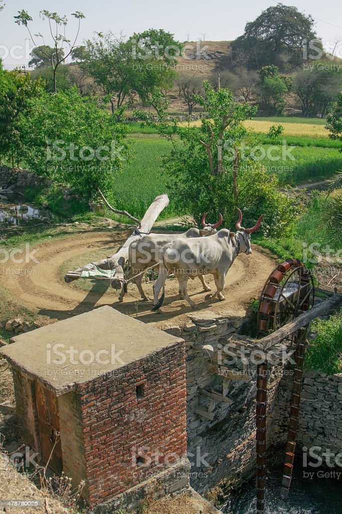 Traditional water wheel driven by Ox, India stock photo