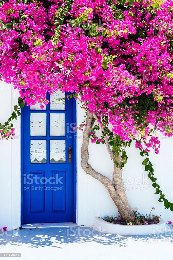 Traditional White Houses Covered with Bougainvillea Flower in Santorini, Greece stock photo