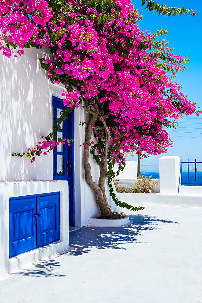 traditional white houses covered with bougainvillea flower in santorini, greece - bougainville stockfoto's en -beelden