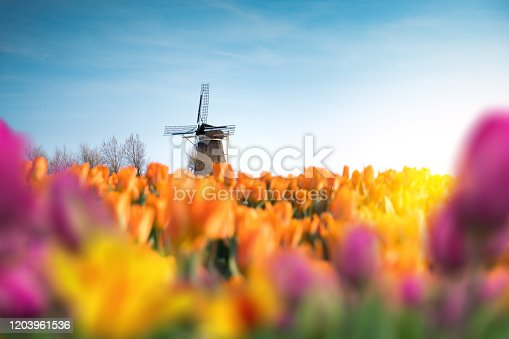 Traditional dutch windmill in the middle of colorful tulip field. View through the flowers.