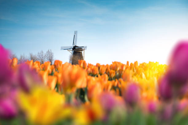 Traditional Windmill In Tulip Field stock photo