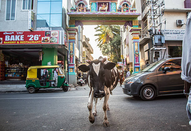 Traffic_cow_road – Foto