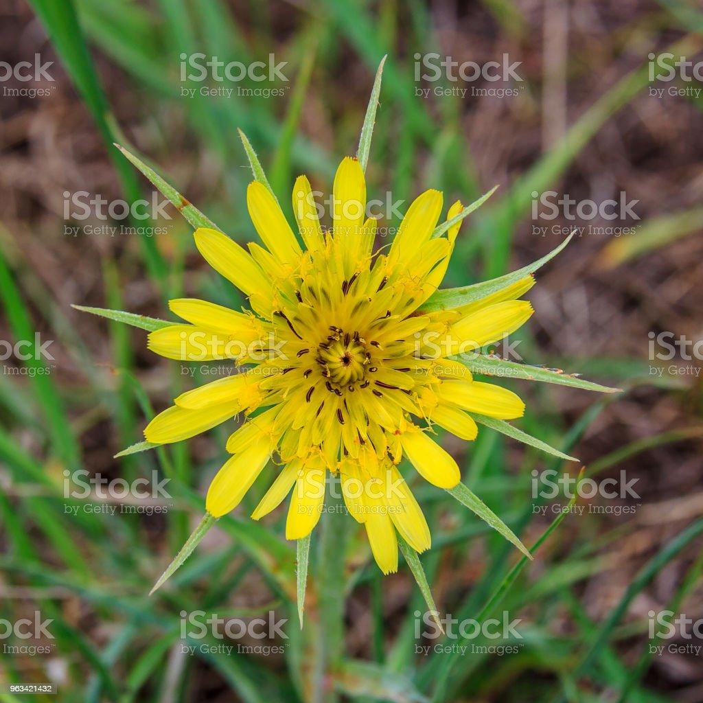 Tragopogon of the family Asteraceae - Zbiór zdjęć royalty-free (Agresja)