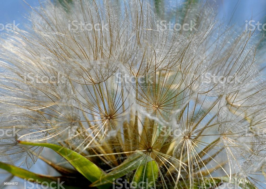 Tragopogon royalty-free stock photo