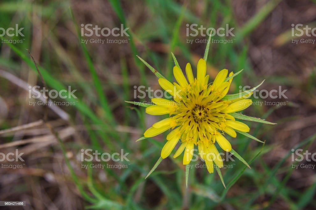 Tragopogon pratensis familles Asteraceae - Photo de Agression libre de droits