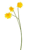 Tragopogon pratensis flower, meadow salsify flower isolated on white background