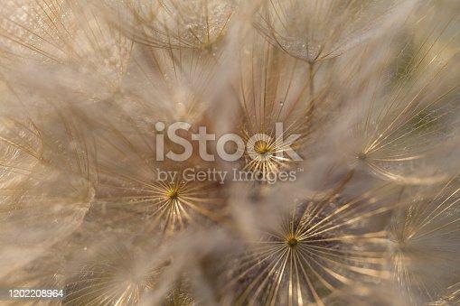 istock Tragopogon pseudomajor (козлобородник). Big dandelion 1202208964