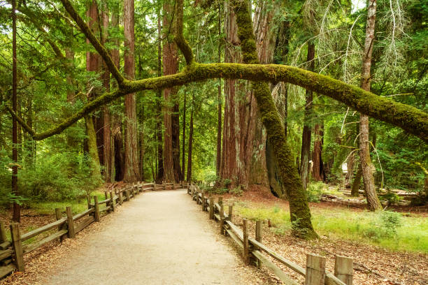 Trail at Big Basin Redwood State Park in California stock photo