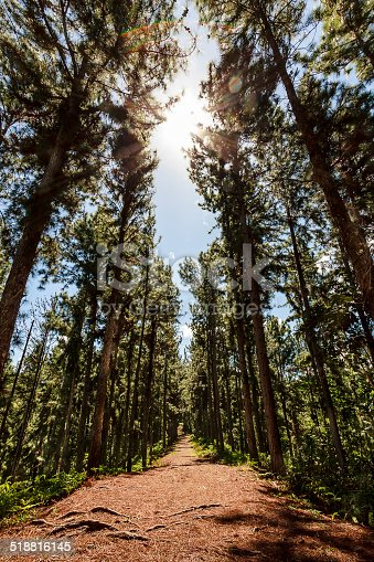 A DSLR photo shot in Tahiti, French Polynesia. A nice straight clay trail amidst tall green araucaria woods. Sunny day with clear blue sky. No one around.