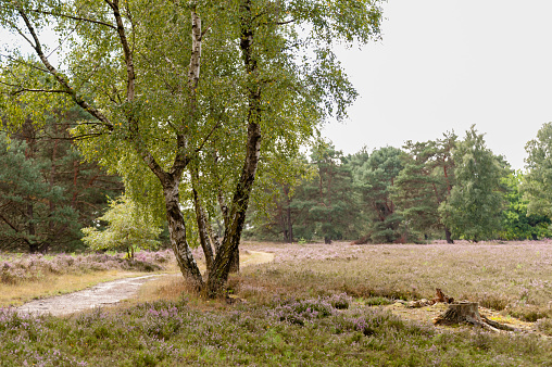 Trail, birches, pines, heather and a tree stump in Fischbeker Heath in Hamburg, Germany.