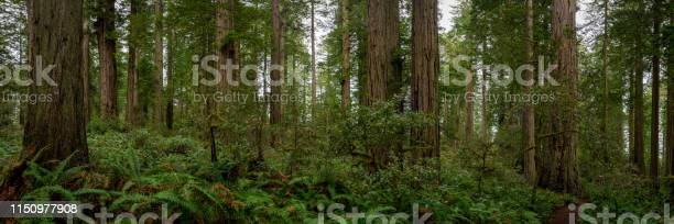 Photo of Trail Dwarfed by the Trees Pano
