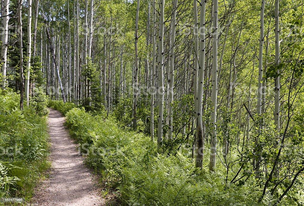 Trail in Aspen woods stock photo