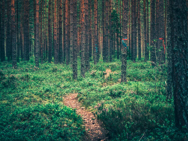 Trail in forest in the Swedish woods nature, summer time. stock photo
