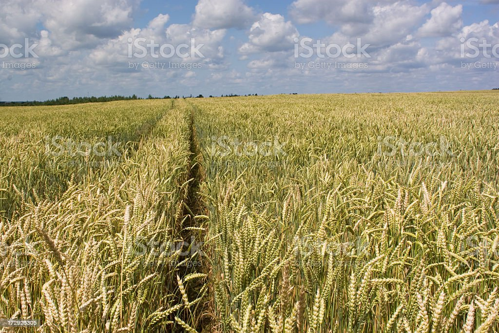 Trail in the wheat field royalty-free stock photo