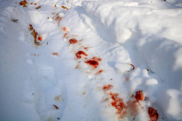 Trail of Blood in Snow stock photo