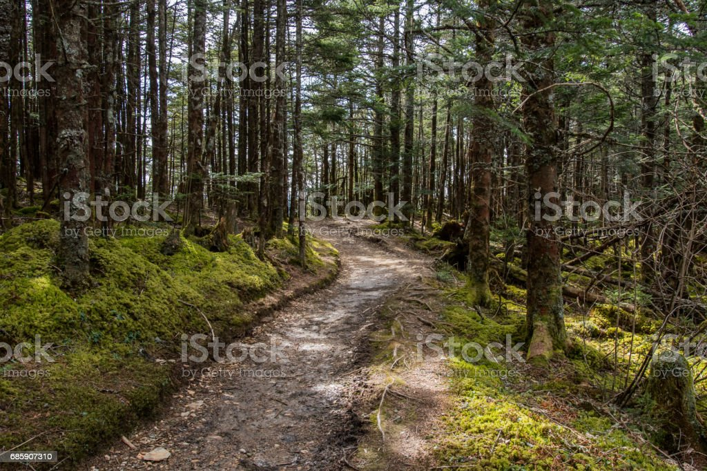 Trail Passes Through Mossy Forest stock photo
