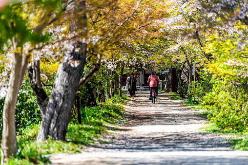 Uji, Japan - April 14, 2019: Trail road path in spring in traditional village with people riding bicycle walking by cherry blossom sakura tree on street