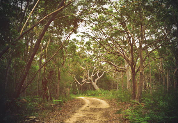 Trail through Angophora forest stock photo