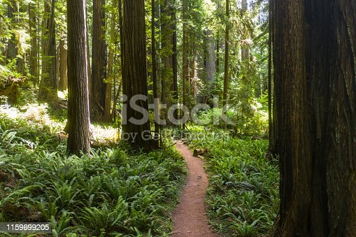 Native Redwood trees, Sequoia sempervirens, grow along the coastal region of Northern California and up into Oregon. These massive trees are an endangered species.
