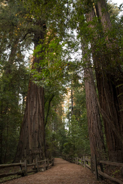A Trail Through Redwood Trees a trail leading through redwood trees jude beck stock pictures, royalty-free photos & images