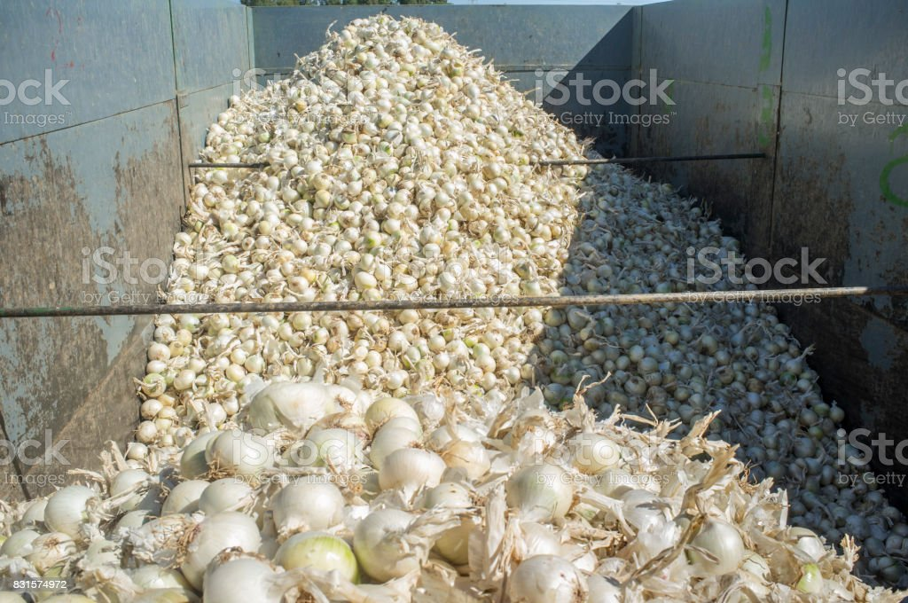 Trailer with white onions at harvest time stock photo