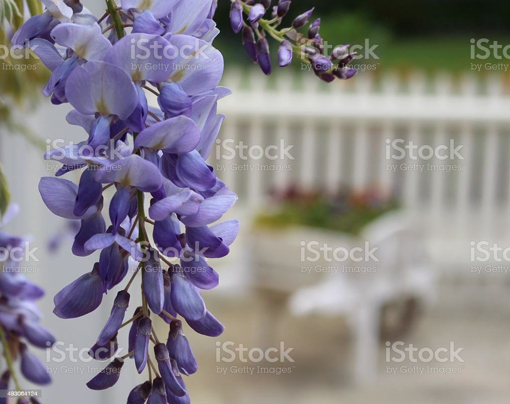 Trailing Wisteria flowers up close stock photo