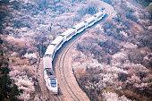 Train and Sakura Trees at beijing, china
