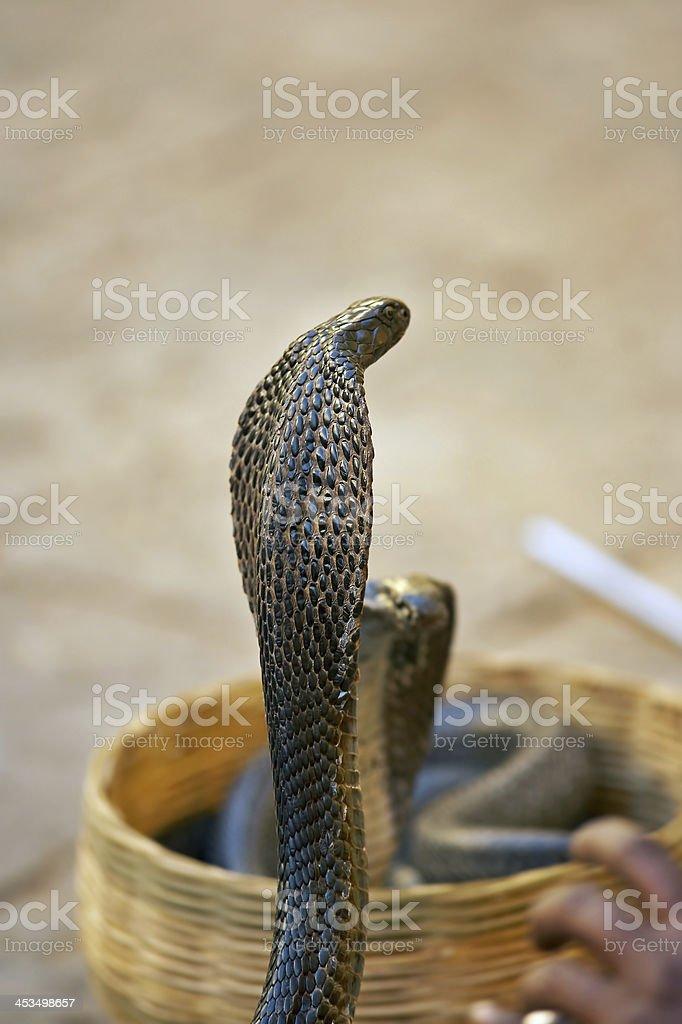 Trained cobra royalty-free stock photo