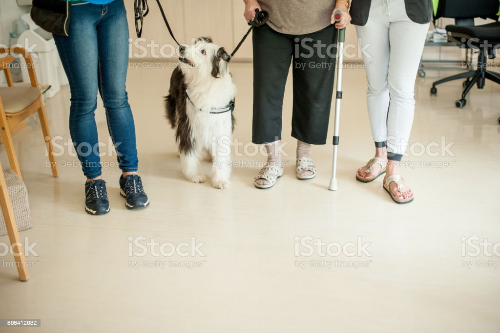 Trained Dog Helping Senior Woman To Keep Stability While Walking stock photo