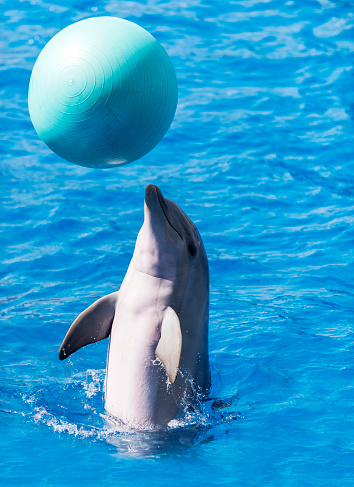 istock Trained dolphin performing with ball on water 1125045302