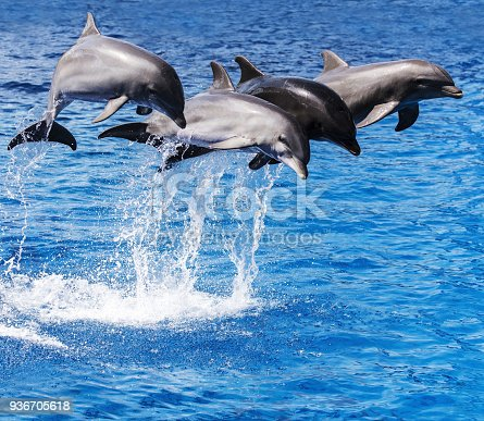 istock Trained dolphins performing on water 936705618