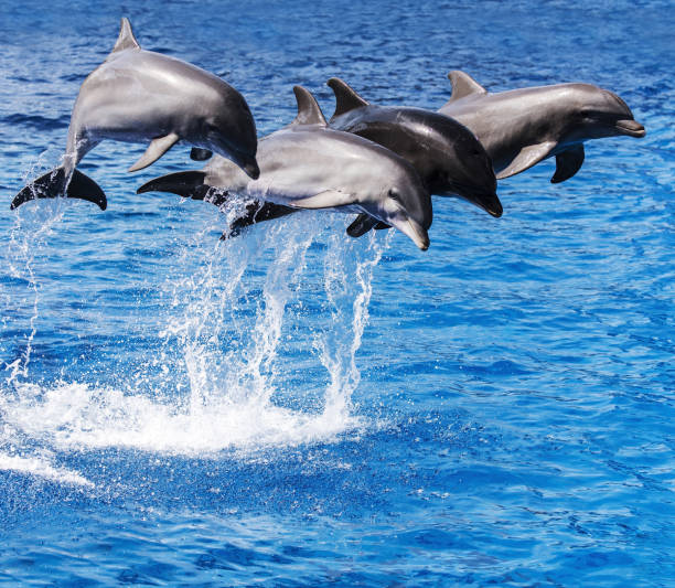 trained dolphins performing on water - animals in captivity stock pictures, royalty-free photos & images