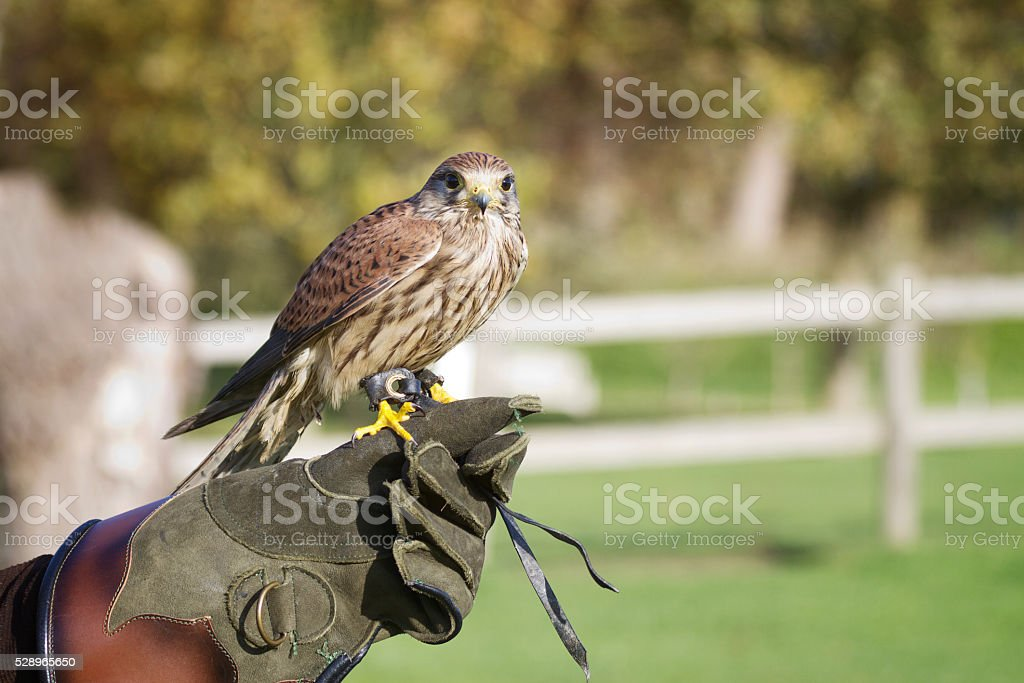 Trained hawk on a glove of trainer stock photo