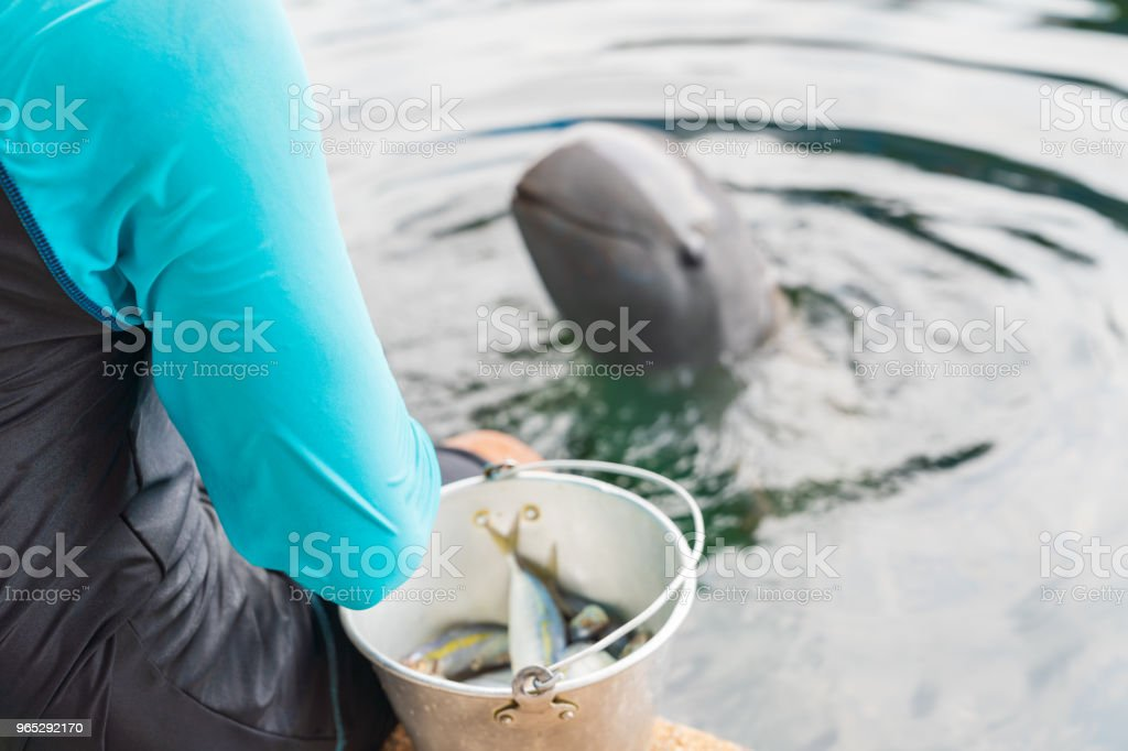 A trainer feeding raw small fish for dolphin. royalty-free stock photo