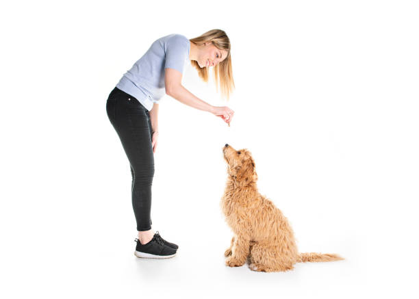 trainer woman with his Golden Labradoodle dog isolated on white background stock photo
