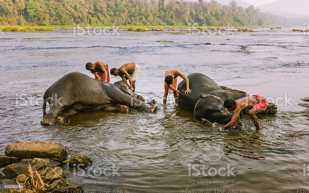 Trainers bathe young elephants in Periyar river, Kerala, India. stock photo