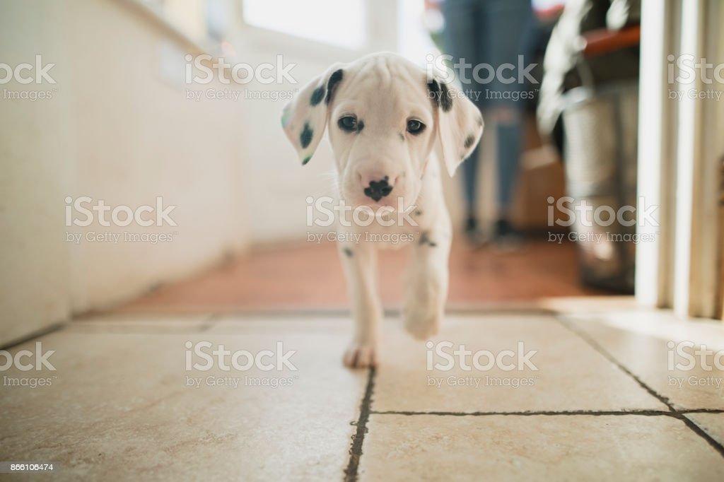 Entrenamiento de un cachorro de dálmata - foto de stock