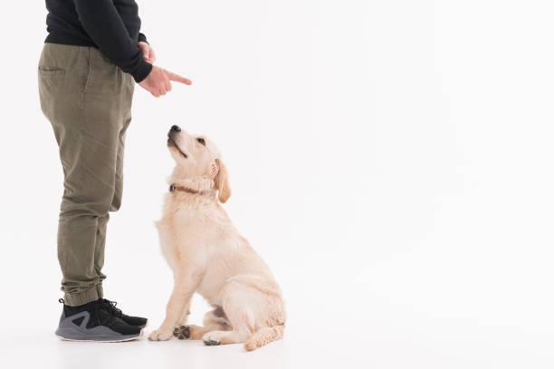 training eines goldenen retriever-welpen - hundeplätze stock-fotos und bilder