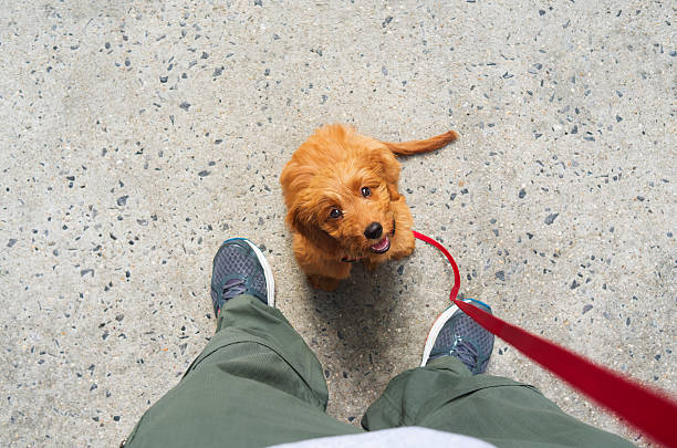 training a goldendoodle puppy dog - city joke stock-fotos und bilder