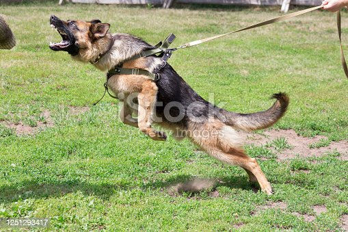 Training a police dog in cynological club. German shepherd dog in action. Dog training course.