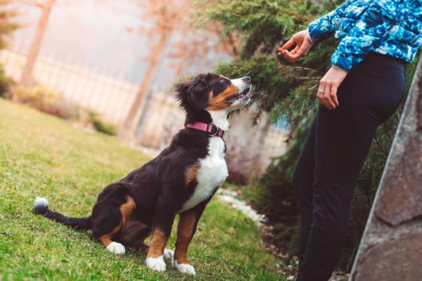- hund - dressierter hund stock-fotos und bilder