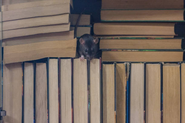 training is independent . black rat in the bookcase. symbol stock photo