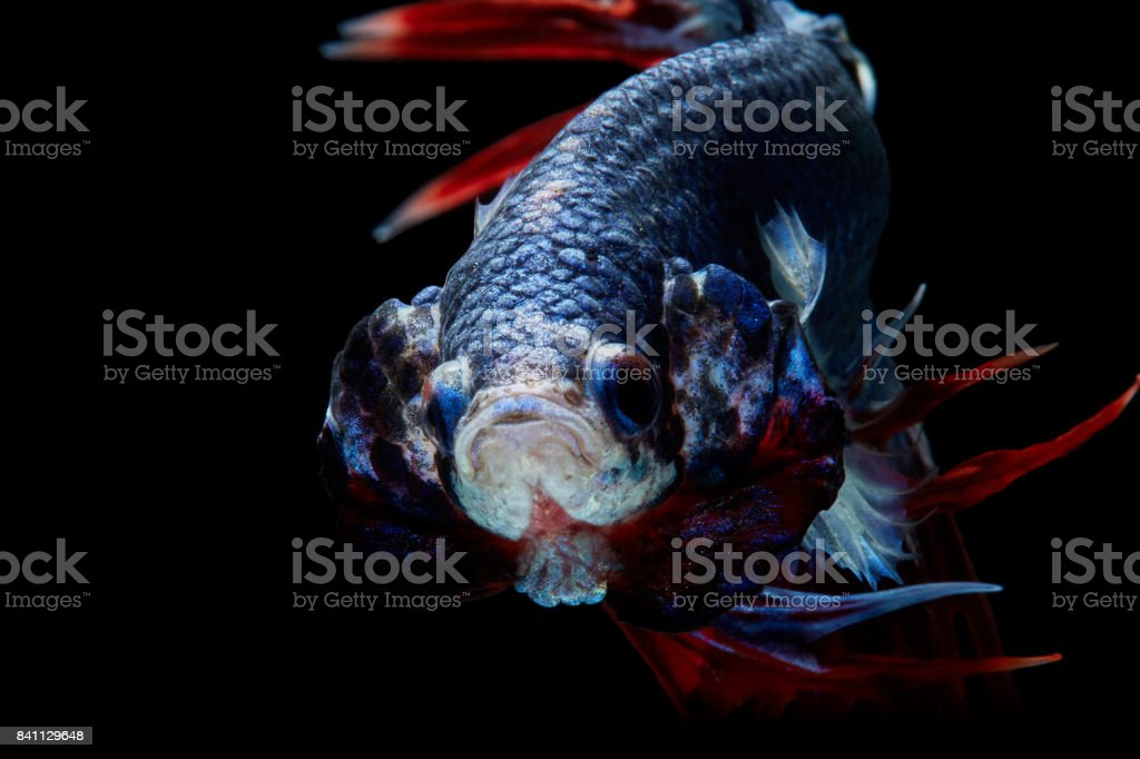 Trairong Crowntails stock photo