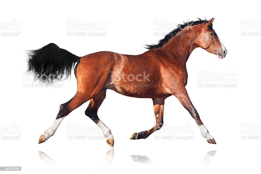 Trakehner horse trot stock photo